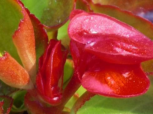 5-5-begonia1