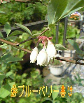 ブルーベリーの お花 (*^^*)